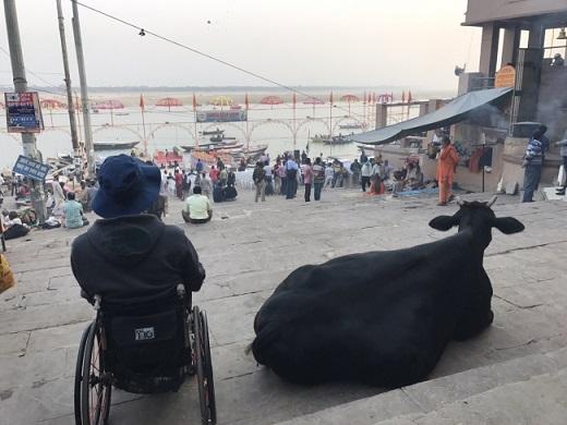 インド・牛とガンジス川を望む